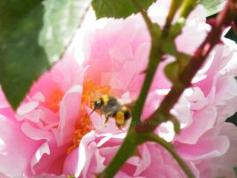 A bee in a Flower 002 by bluehayes2