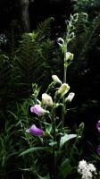 Digitalis by graphic-rusty