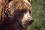 Grizzly Bear by WonderDookie