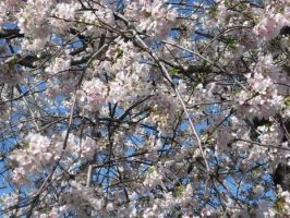 Cherry Blossoms. by Ember169