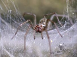 Female European House Spider in her web by TheFunnySpider