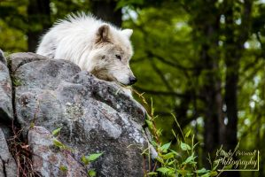 Arctic wolf looking from above by ClaudeP-Photography