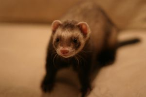 Ferret by fl8us-stock