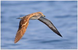 Cory's Shearwater by Ryser915