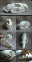 African Palm Civet Skull by CabinetCuriosities