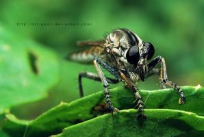 Robberfly by KFT-Andri