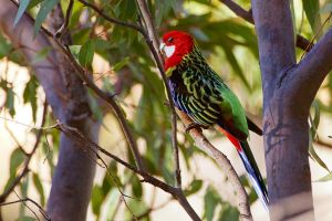 Cheeky Eastern Rosella by Simon-Hunt