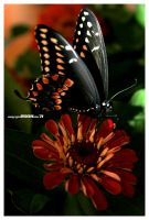 Anise Swallowtail Butterfly by padawan71