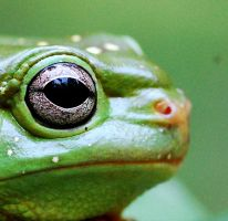 Magnificent Tree Frog close up by yourdistraction