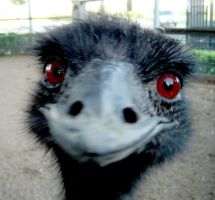Edward the Emu by newdythenewb