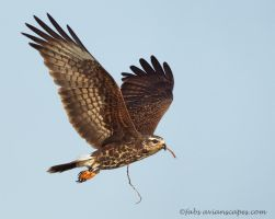 Snail Kite by FForns