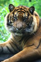 Sumatran Tiger 15 by Sabbie89