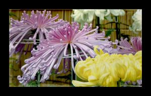 Japanese Chrysanthemum by Princess-Suki-W