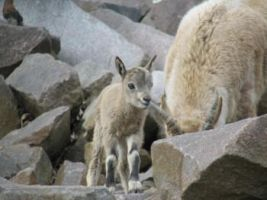 sweet little newborn capricorn fawn is here by Blutbraut