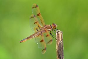 Male Painted Skimmer by wreckingball34