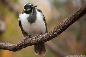 Blue-Faced Honeyeater III by amrodel