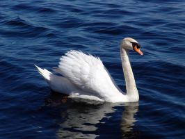 Swan by ralasterphecy