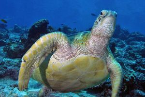 caretta from sipadan by carettacaretta