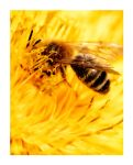Bee and Flower by lebensmelodie