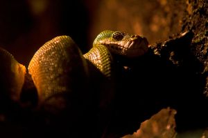 Green Tree Python by cathy001