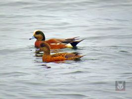 Happy Wigeon Couple by wolfwings1