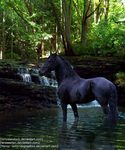 Friesian In Water. by TWISTED-STUDIOS