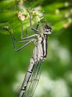 Damselfly by iriscup