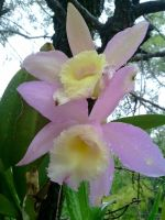 one of my cattleya spices in bloom by bbart49