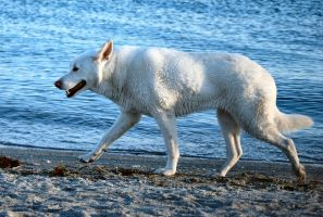 White German Shepherd 2 by CompassLogicStock