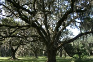 The majestic live oaks by fakeprofileofme