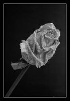 death rose by Platonov