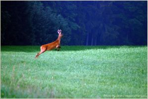 jumping roebuck by brijome