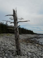 Atlantic Coast-Dead Tree by FireKat