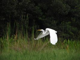 Flying great egret. by Sorath-Rising