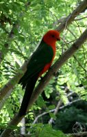 King Parrot by Orstrix