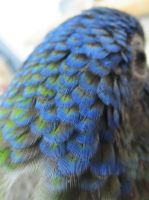 Blue-Headed Pionus Feathers by koshplappit