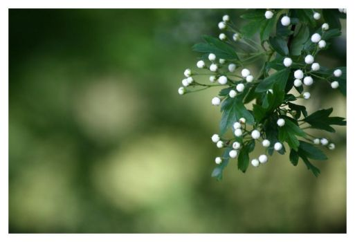 Little white things by midwinternight