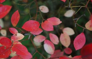 Red leafs by MurphyL6