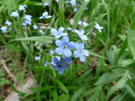 Forget-Me-Nots by Giez-R
