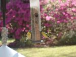 Goldfinches in feeder by Micky1966