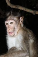 Bonnet Macaque Monkey3 by RixResources