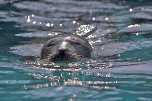 Baby sea lion on the go by MagicCometART