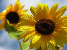 sunflower by castoff002