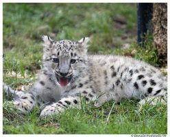 Baby Snow Leopard: Bleagh by TVD-Photography