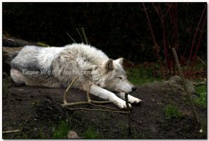 Dog Tired  III by LoneWolfPhotography