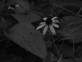 Black Black-Eyed Susan by rouquinamour