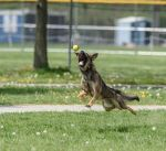 Police dog at play... by jus4taday