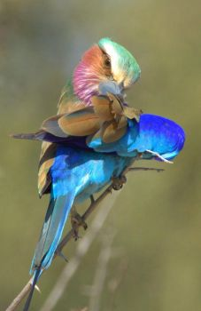 LILAC BREASTED ROLLER by lenslady
