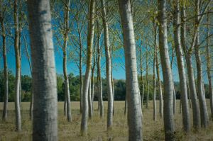 Trees I by OlivierAccart