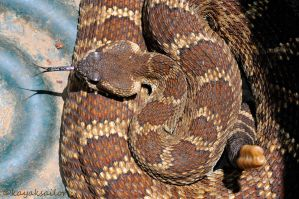 Now this is a REAL rattlesnake by kayaksailor